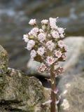 Petasites hybridus, aka Butterbur plant. Stock Image