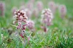 Petasites hybridus. Butterbur flowers - early spring in Poland Royalty Free Stock Images