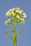 Petasites vulgaris blanc (albus de Petasites) Photo libre de droits