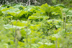 Petasites vulgaris et x28 ; Hybridus& x29 de Petasites ; grandes feuilles Photos libres de droits