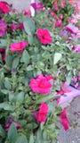Petchoa Supercal Cherry (Calibrachoa X Petunia) Royalty Free Stock Photography