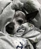 Tired and Old Dog named Pete royalty free stock photos