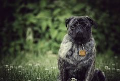 Pete. Year old brindle pug Royalty Free Stock Photos