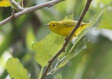Petechia Setophaga желтой певчей птицы Стоковые Изображения RF