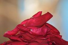 Petel de ROSE Image libre de droits