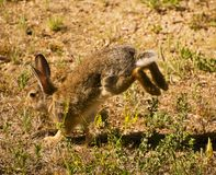 Peter Cottontail Royalty Free Stock Image