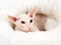 Peterbald blanco sin pelo en la cama blanca de la piel Fotos de archivo