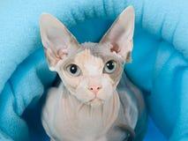 Peterbald in blauw kattenbed Royalty-vrije Stock Fotografie