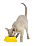 Peterbald Cat Eating Royalty Free Stock Image