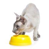 Peterbald Cat Eating Stock Photo