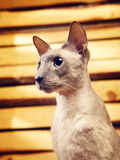 Peterbald Cat on Hayloft Royalty Free Stock Photo