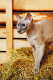 Peterbald Cat on Hayloft Stock Image