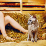 Peterbald Cat on Hayloft Stock Photography