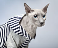 Peterbald Cat in Hoody Royalty Free Stock Photography