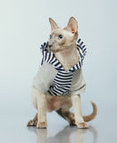 Peterbald Cat in Hoody Stock Photo