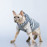 Peterbald Cat in Hoody Stock Image