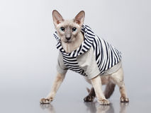 Peterbald Cat in Hoody Stock Photos