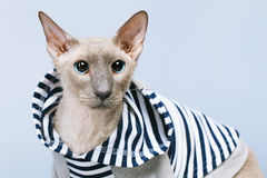 Peterbald Cat in Hoody Royalty Free Stock Images