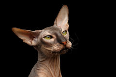 Peterbald cat on isolated black background. Closeup portrait of hairless Peterbald Cat with green eyes and big ears, wrinkles on neck and funny whiskers, calmy Stock Photography