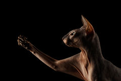 Peterbald cat on isolated black background Royalty Free Stock Images