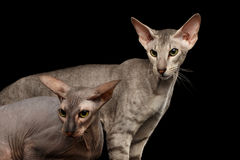 Peterbald cat on isolated black background. Closeup Two Peterbald Cats family hairless and silver with green eyes, female and male, Stare at side, isolated black Stock Photo