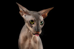 Peterbald cat on isolated black background Stock Photography