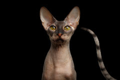 Peterbald cat on isolated black background Royalty Free Stock Photos