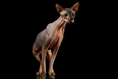 Peterbald cat on isolated black background. Hairless Peterbald Cat with green eyes and wrinkles on neck, Standing and Stare isolated black background, front view Royalty Free Stock Image