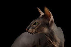 Peterbald cat on isolated black background Stock Photos