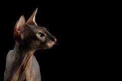 Peterbald cat on isolated black background Stock Image