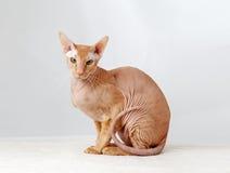 Peterbald cat, Oriental Shorthair Stock Photos