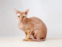 Peterbald cat, Oriental Shorthair Royalty Free Stock Photo