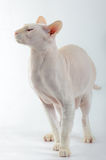 Peterbald cat, Oriental Shorthairl Stock Photo