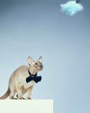 Peterbald Cat Stock Photography