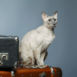 Peterbald Cat Stock Photo