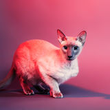 Peterbald Cat Royalty Free Stock Photos