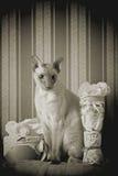 Peterbald Cat Royalty Free Stock Image