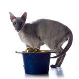 Peterbald Cat Stock Photos