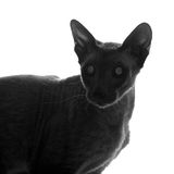 Peterbald Cat Silhouette Royalty Free Stock Photo
