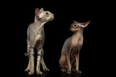 Peterbald cats on isolated black background. Two Peterbald Cats on isolated black background, female angry looking on male, Curious situation unfaithfulness Stock Photography