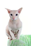 Peterbald hairless cat Stock Photography