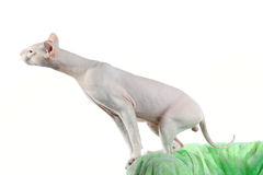 Peterbald hairless cat Stock Photo