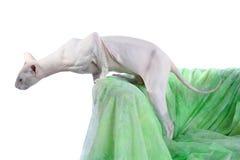 Free Peterbald Hairless Cat Stock Photos - 12127533