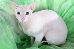 Peterbald hairless cat Royalty Free Stock Photo