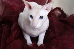 Peterbald hairless cat Stock Photos