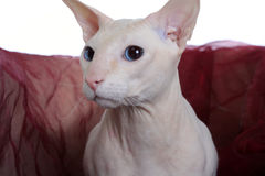 Peterbald hairless cat Stock Images