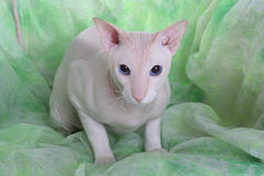 Peterbald hairless cat Royalty Free Stock Images
