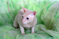 Peterbald hairless cat Stock Image