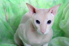 Free Peterbald Hairless Cat Royalty Free Stock Photo - 12455235