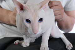 Peterbald hairless cat in hands Stock Photography
